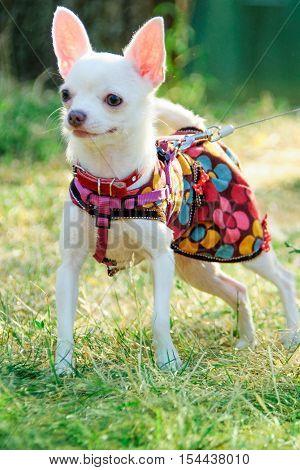 beautiful pedigree dog chihuahua clothing outdoors in summer