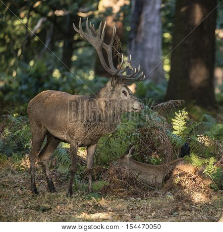 Beautiful Intimate Tender Moment Between Red Deer Stag And Hind Doe During Rutting Season Wit Hstag