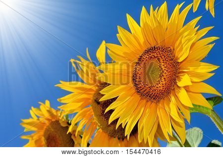 Young Sunflowers Blooming In The Field Against The Blue Sky.