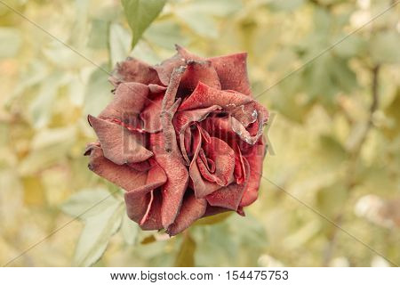 Top view of dry red rose flower in garden. Shot toned in vintage color, selective focus blurred background. Wilting rose in the center with copyspace by sides.