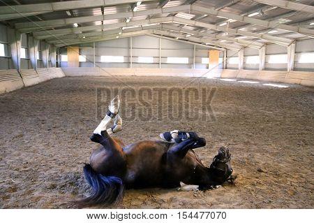 Saddle Horse Having Fun In Riders Hall