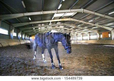 Thoroughbred Saddle Horse Having Fun In Empty Riders Hall