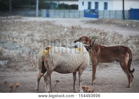 animals in solidarity. Shepherd dogs and sheep. dog face is looking carefully to protect the herd.