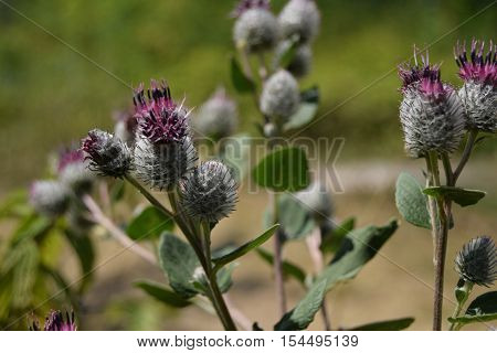 Wildflowers (agrimony or bur flower) in summer evening, Russia