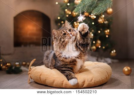 Tabby and happy cat. Christmas season 2017 new year holidays and celebration He plays with a Christmas toy