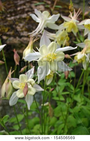 White Aquilegia flowers with pale yellow centres. The central bloom is in focus surrounded by others which are blurred. Background of leaves and soil.