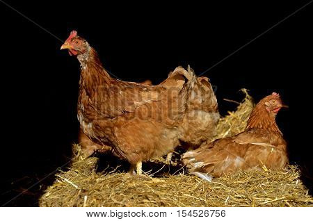 A reddish brown rooster and chicken roost on a bale of straw inside a poultry barn