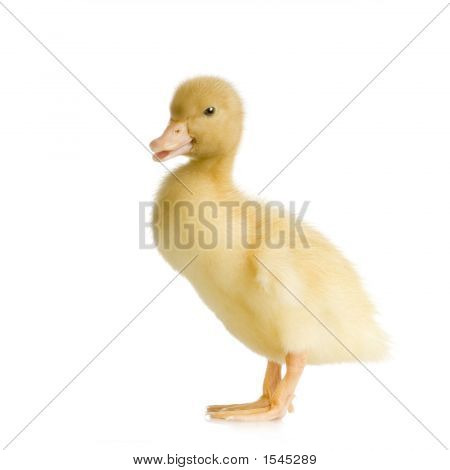 Duckling Four Days