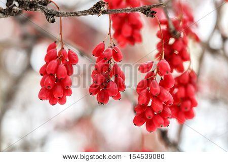 Ripe red barberry berries Berberis Vulgaris branch autumn snowy white background. Closeup
