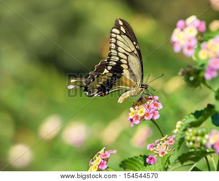 The Giant Swallowtail (Papilio cresphontes) butterfly feeding on Lantana flowers. Natural green background with copy space.