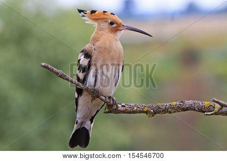 Upupa epops sitting on a dry branch, bird disappears, rare bird, beautiful bird