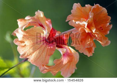 Paradise Butterflies. Hibiskus Of Borneo.