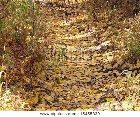 Aspen leaves on trail expanded
