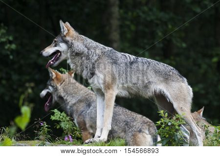 a pair of euroasian grey wolves on lookout