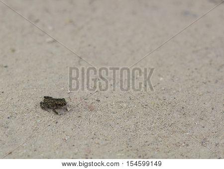 Little land dark gray frog on road