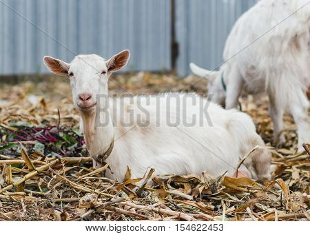 Goat On Autumn Grass, Goat Sitting And Looking At The Camera, White Goat At The Village In A Cornfie