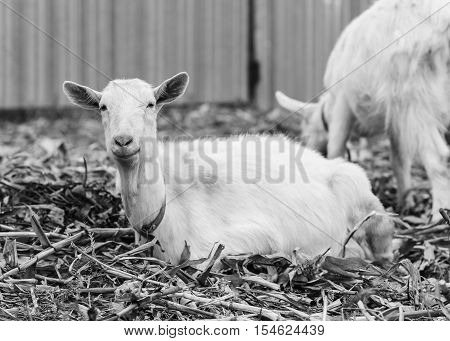 goat on autumn grass goat sitting and looking at the camera white goat at the village in a cornfield ranch or farm