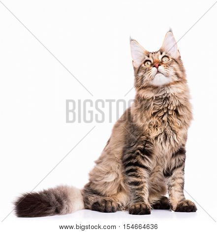 Portrait of domestic black tabby Maine Coon kitten - 5 months old. Cute young cat sitting and looking up. Adorable kitty isolated on white background.