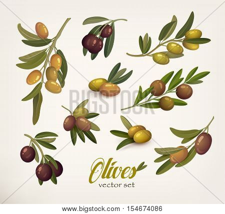 Set of green and black olive branches with twig. Bleak on olive berries with stem. May be used for olive oil bottle sticker or vegetarian olive food, botany book olive vector illustration