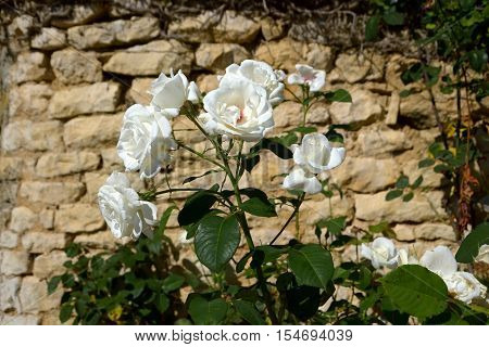 A rose tree in front of a stone wall