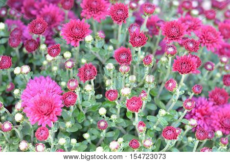 Flowering Fall Mums. Pink Chrysanthemum Flower Background