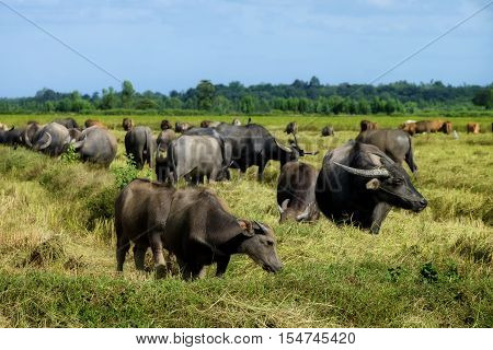 The way they were on the rice field of buffalos