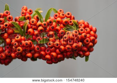 The photo shows cotoneaster bush. On the branches there are numerous fruits, berries, orange.