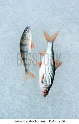 perch fish and roach ice