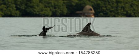 dolphin diving into the calm water of Dolphin bay in the archipelago of Bocas del Toro, Caribbean sea, Panama