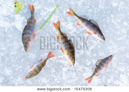 perch fish group on ice
