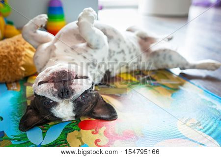 French bulldog lying down on the floor