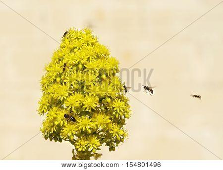 European honey bee (Apis mellifera) gathering pollen, Honey Bee harvesting pollen from yellow Blossom, honeybee, honey bee