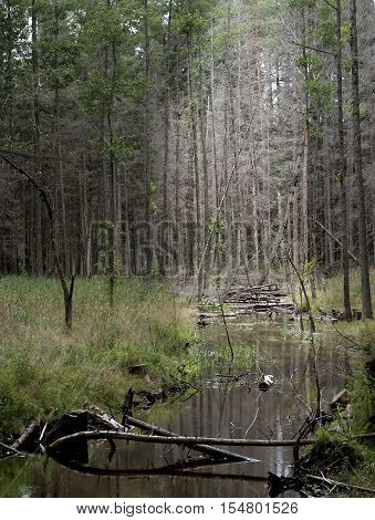 Wild nature, forest background, forest and wild river in it in Lithuania, Lithuanian nature, nature in Lithuania
