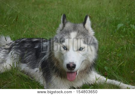 Siberian husky ready to play and pounce in the grass.