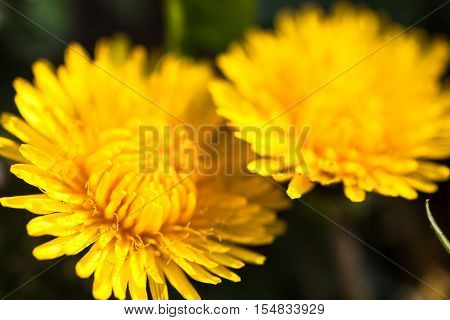Closeup of two blooming yellow dandelion flowers.