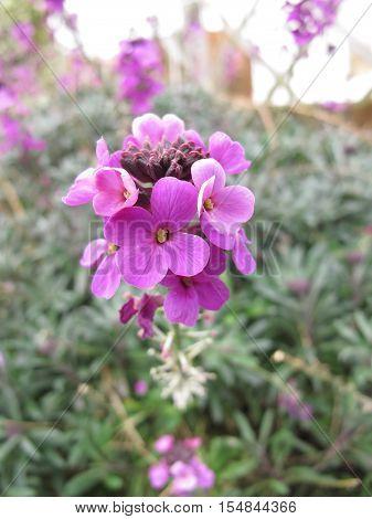 close up of the Beautiful purple garden flower erysimum