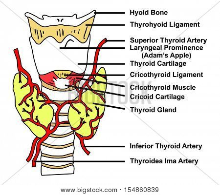 Thyroid Gland Anatomical Structure & Arteries Supply - Diagram of all parts: Hyoid Bone, Thyrohyoid Ligament, Cricothyroid Muscle, Cricoid Cartilage, Adam Apple, Thyroidea Ima Artery