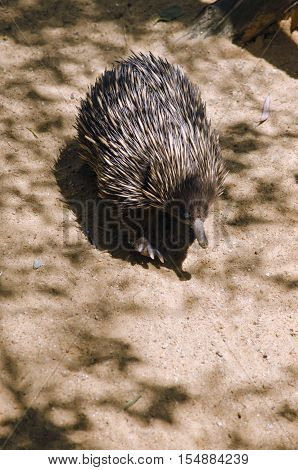 the echidna is walking in a sandy area