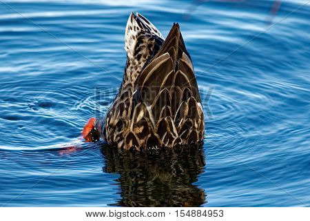 A Mallard Duck dabbles in bright blue waters. Dabbling ducks are known for their