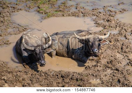 Water buffaloes at the wet land area - Thale noi, Phatthalung, Thailand.