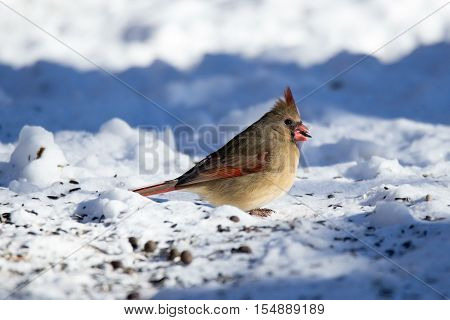This beautiful Cardinal posed with a seed in her beak. These birds can be found in Iowa year-round but are especially beautiful in the snow where their brilliant plumage stands out.