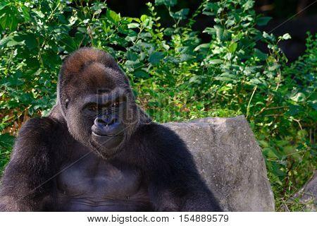Male Silverback Western Lowland gorilla smile. Green background