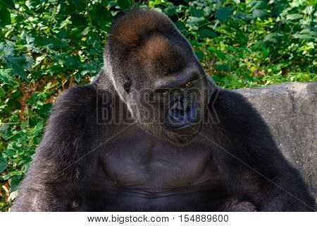 Male Silverback Western Lowland gorilla Stern sitting and looking right