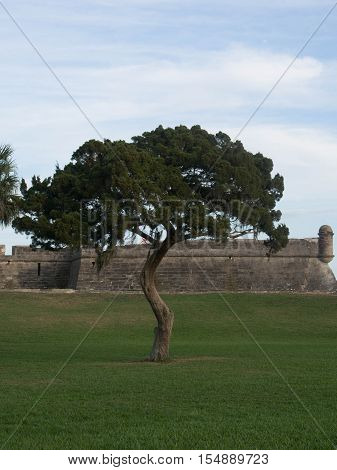 Unique Tree in front of Fort Matanzas in St. John County St. Augustine Florida