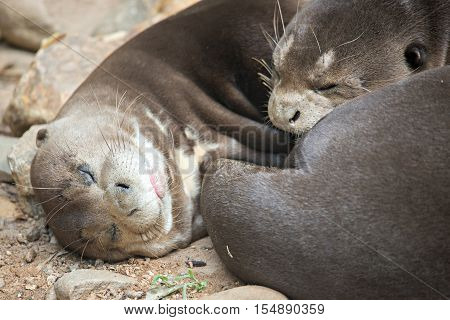 A Pair Of Oriental Short-clawed Otters Cuddling