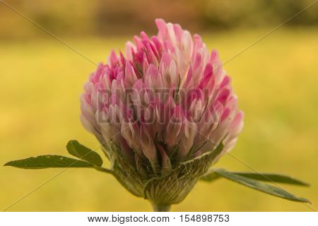 Macro Photography Of Flower Of Trifolium With Natural Background