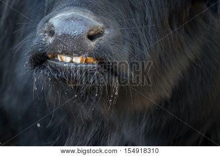 Buffalo snout smiling with white plaque on teeth