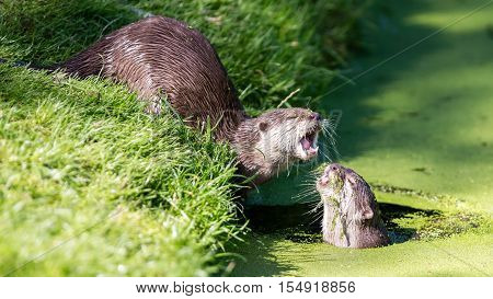 Close-up Of An Otter Eating Special Food