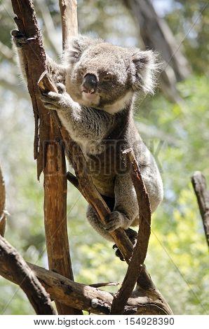 the koala is climbing high into the tree