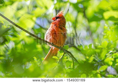Male Northern Cardinal (Cardinalis cardinalis) north carolina bird